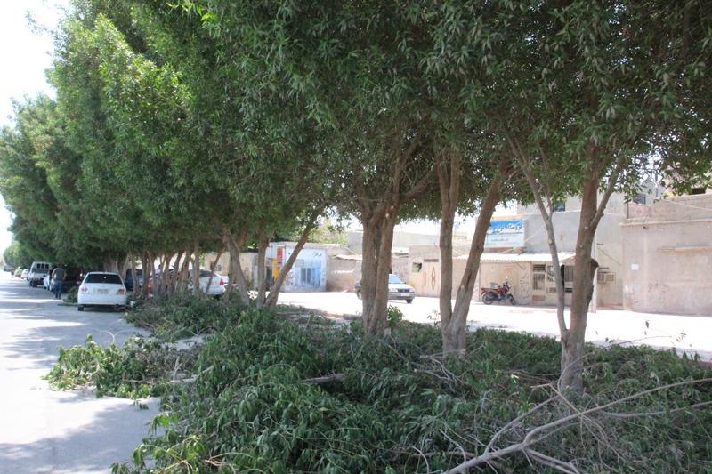 هرس درختان توسط شهرداری قشم